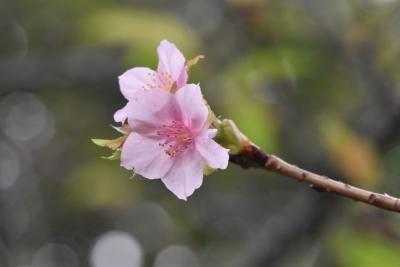 201003kawazuzakura